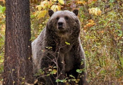 Judge Restores Federal Protections for Yellowstone Grizzly Bears