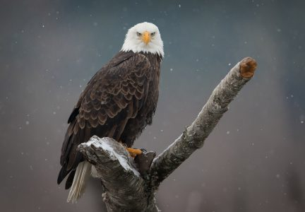 American Bald Eagle an Endangered Species