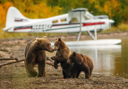 Mother and Cubs Frolic at the shoreline in wild Alaska